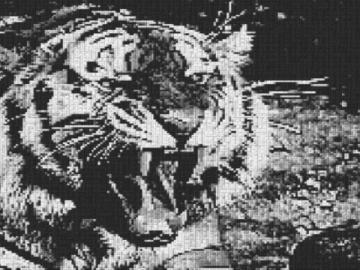Vorlage für Ministeck Tiger 80x60cm schwarz/weiß als Volldruck